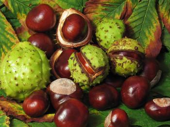chestnut-002