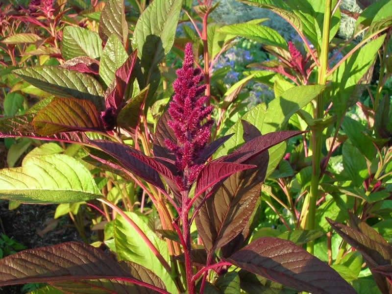 Щерица растение полезные свойства