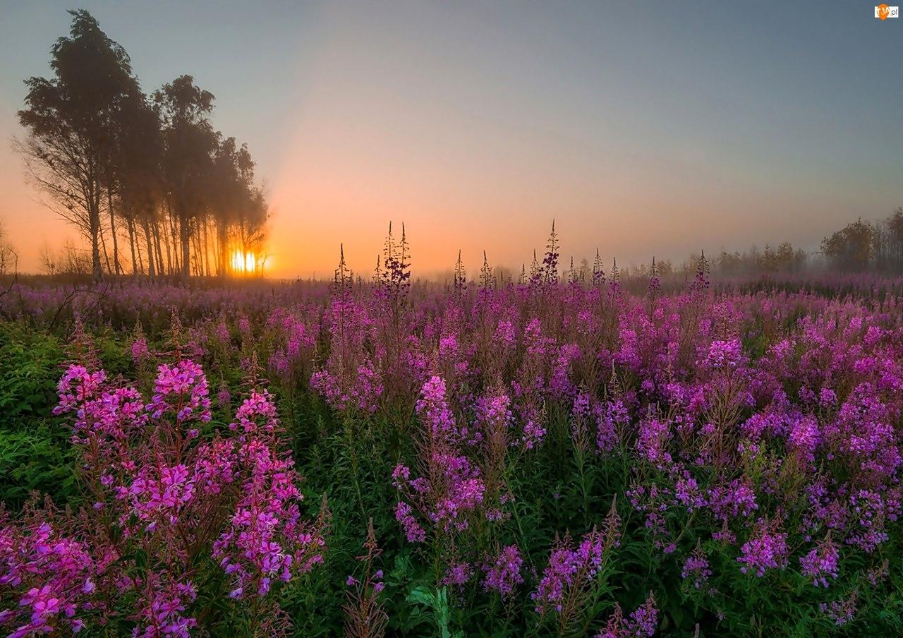 Сбор цветов иван