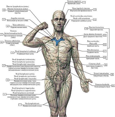 лимфотическая система